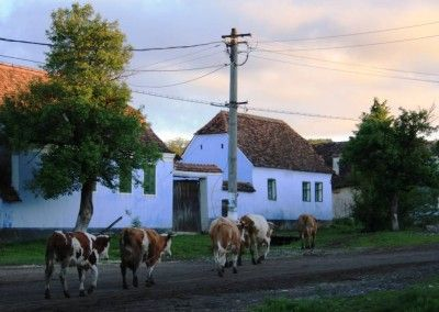 Cows returning home in the evening