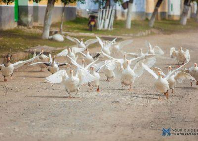 geese-travel-tips-ygt.ro